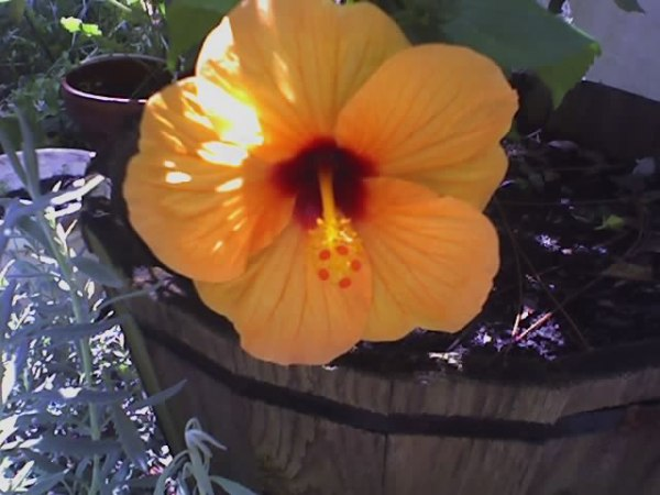 Photo by Gayle Rose; Hibiscus Bloom