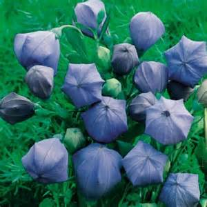 Komachi Balloon Flowers; Bing Images Public Domain