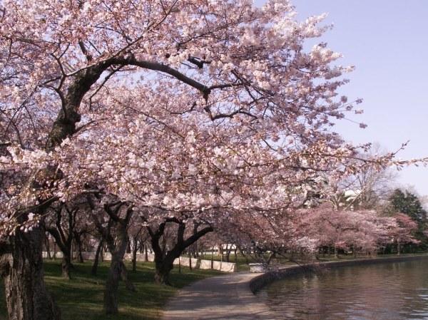 CherryBlossomsDC