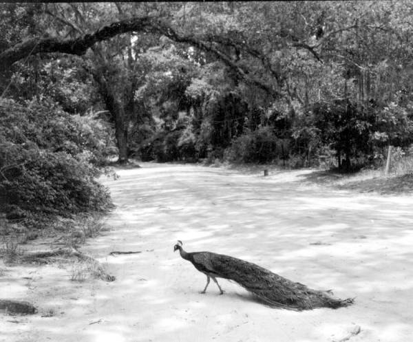 Photo by:  Karl E. Holland, 1975; Peacock crossing on Genius Drive, Winter Park, FL
