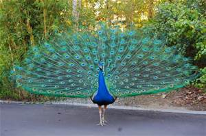 Peacock display; Bing Photos